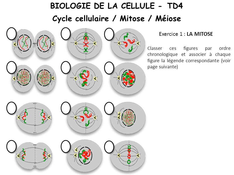 Classer ces figures par ordre chronologique et associer à chaque figure la légende correspondante (voir page suivante) Exercice 1 : LA MITOSE BIOLOGIE