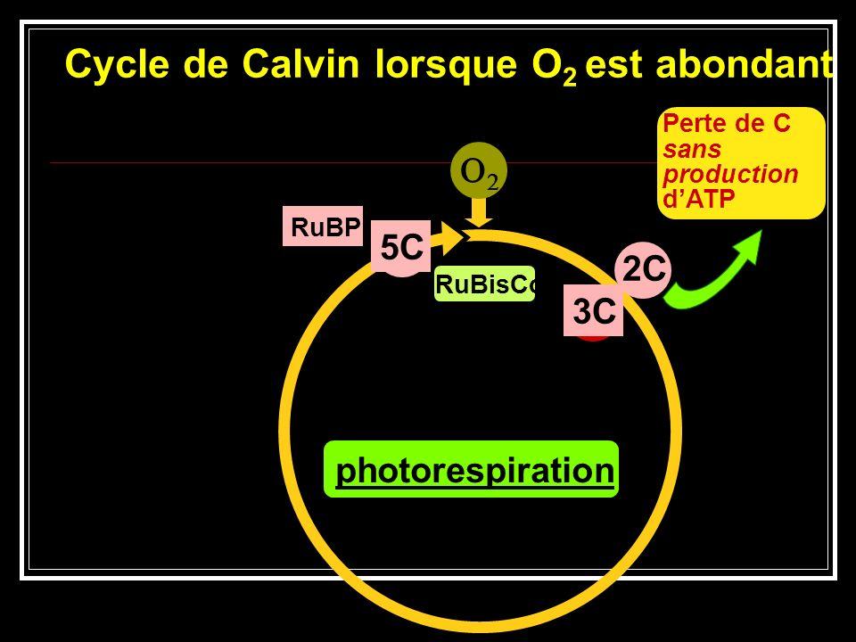 Anatomie feuille C3 Tous les processus photosynthétiques ont lieu dans les cellules du mésophylle. Cellules du mésophylle Cellules de la gaine périvas