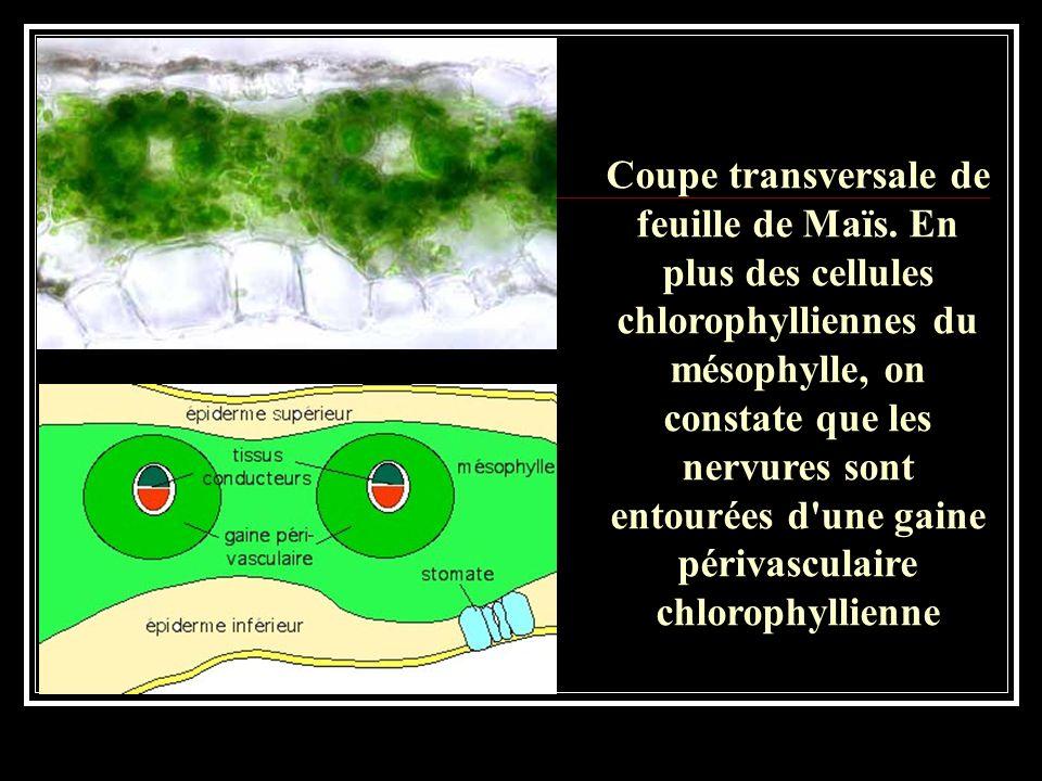 D'autre part, les plantes qui réalisent cette photosynthèse dite en C4 présentent très généralement une structure particulière au niveau de la feuille