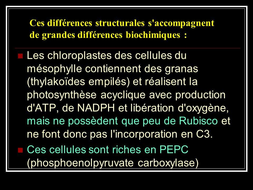 Chloroplaste de mésophylle (MET): La structure est classique, le chloroplaste contient de nombreux thylakoïdes empilés en grana Chloroplaste de gaine
