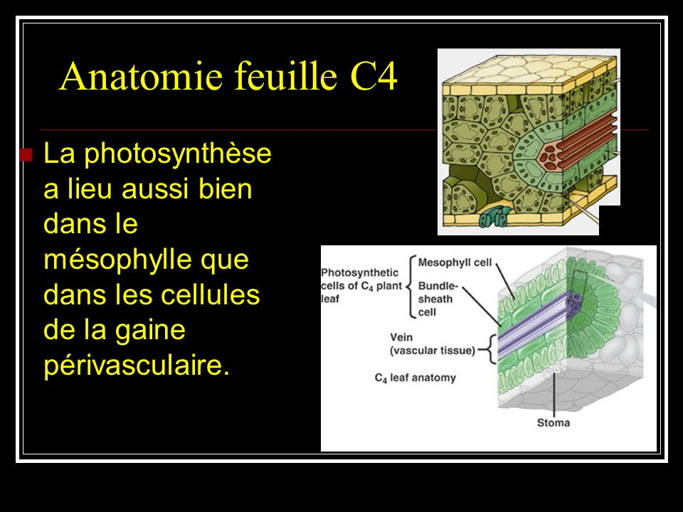 Les chloroplastes des cellules du mésophylle contiennent des granas (thylakoïdes empilés) et réalisent la photosynthèse acyclique avec production d'AT