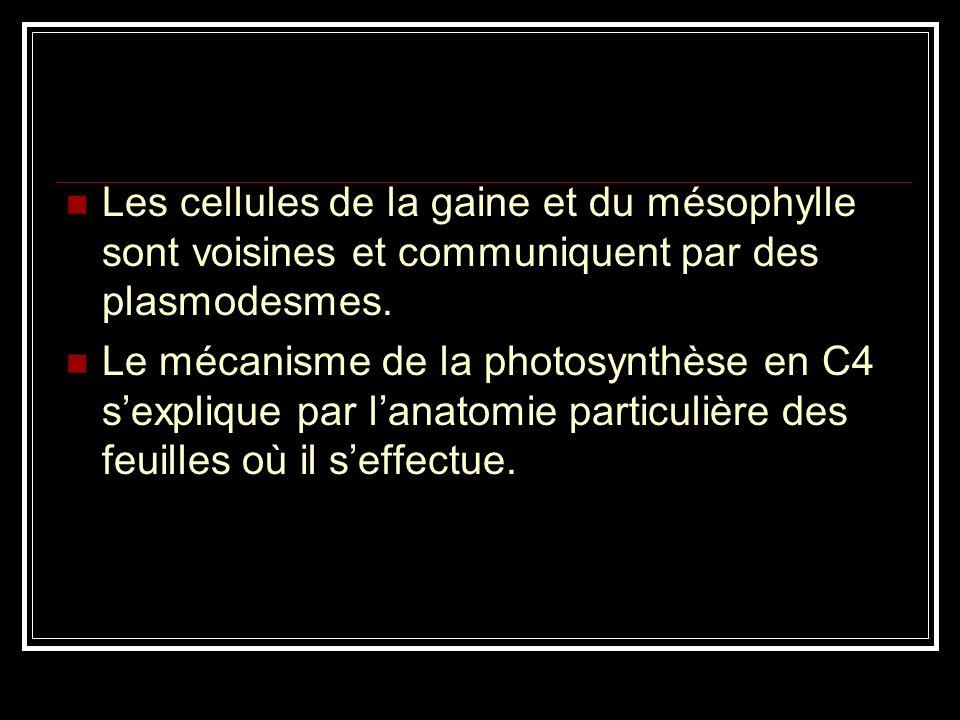 Anatomie feuille C4 La photosynthèse a lieu aussi bien dans le mésophylle que dans les cellules de la gaine périvasculaire.