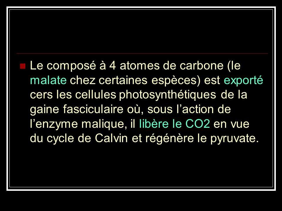 Les plantes de type C4 sont adaptées à la chaleur et à la sécheresse. Elles empêchent la PR en faisant précéder le cycle de Calvin dune série de réact