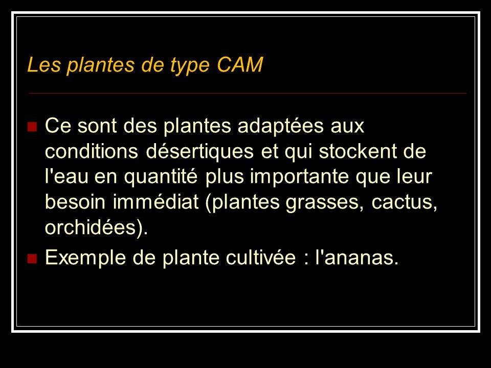 Le composé à 4 atomes de carbone (le malate chez certaines espèces) est exporté cers les cellules photosynthétiques de la gaine fasciculaire où, sous