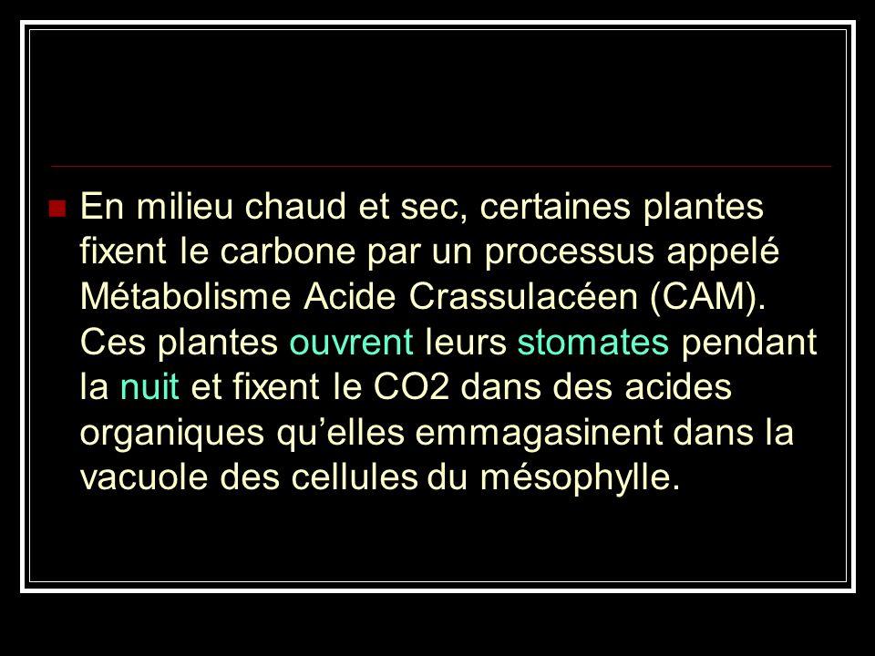 Les plantes de type CAM Ce sont des plantes adaptées aux conditions désertiques et qui stockent de l'eau en quantité plus importante que leur besoin i