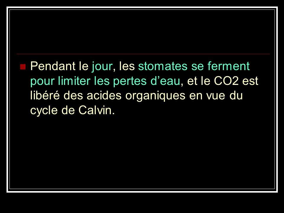 En milieu chaud et sec, certaines plantes fixent le carbone par un processus appelé Métabolisme Acide Crassulacéen (CAM). Ces plantes ouvrent leurs st