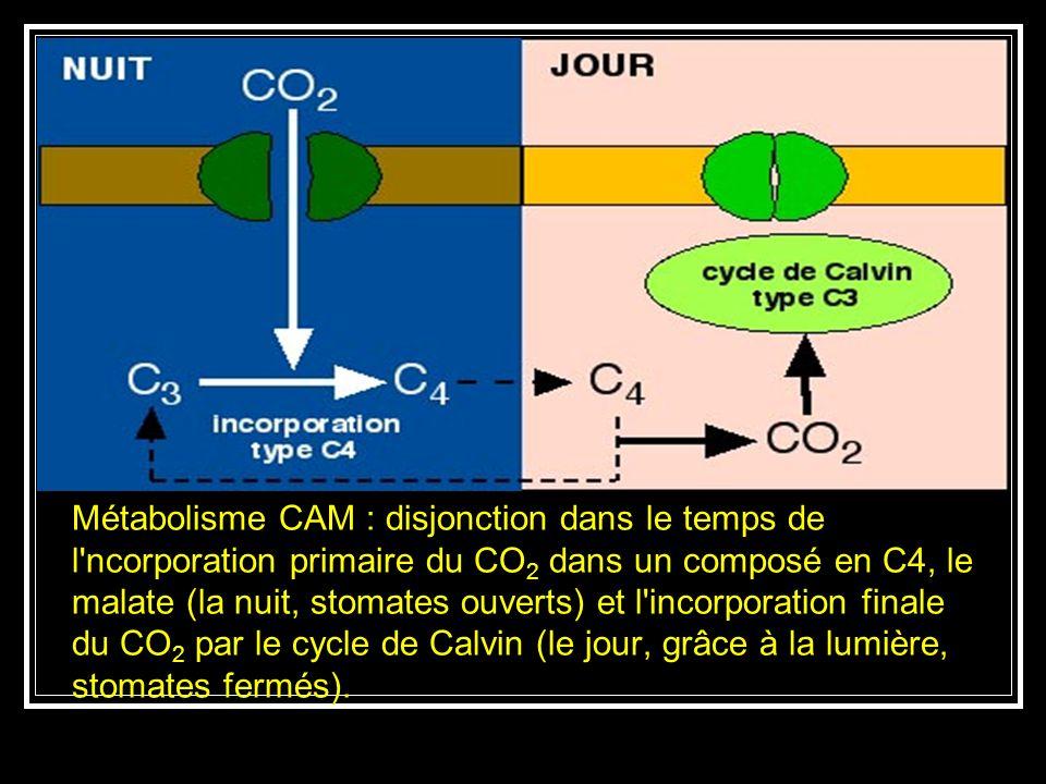 Pendant le jour, les stomates se ferment pour limiter les pertes deau, et le CO2 est libéré des acides organiques en vue du cycle de Calvin.