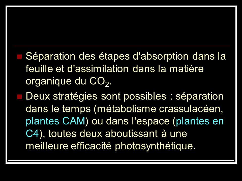 Métabolisme CAM : disjonction dans le temps de l'ncorporation primaire du CO 2 dans un composé en C4, le malate (la nuit, stomates ouverts) et l'incor