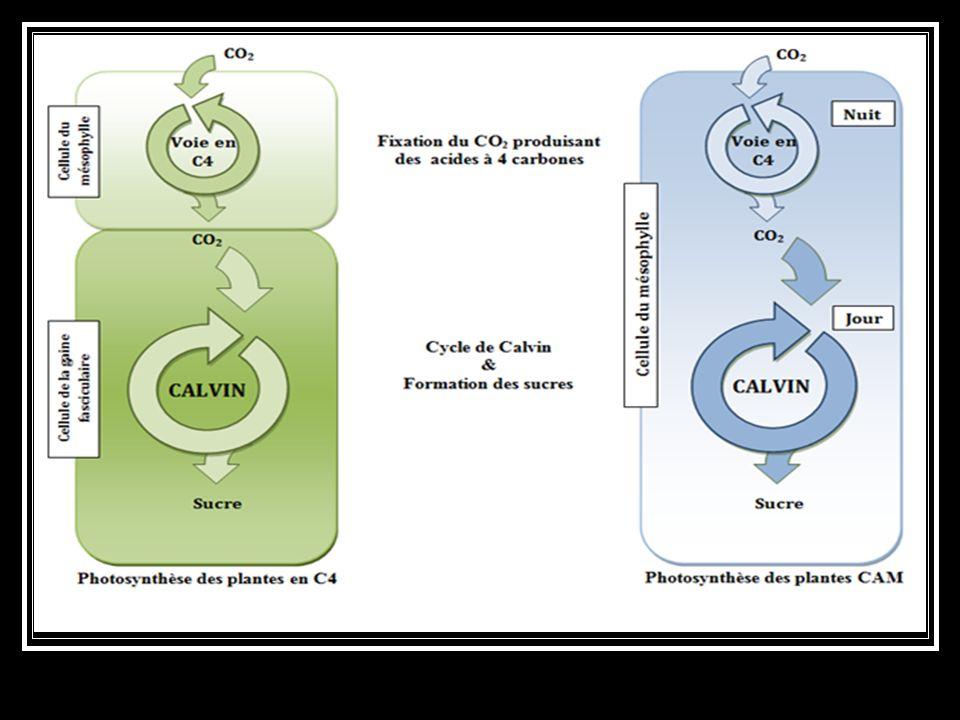 Séparation des étapes d'absorption dans la feuille et d'assimilation dans la matière organique du CO 2. Deux stratégies sont possibles : séparation da