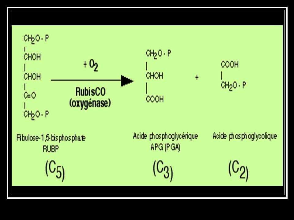 Le produit se scinde en une molécule à 3 atomes de C, qui reste dans le cycle de Calvin, et un composé à 2 atomes de C (le glycolate), qui sort du cyc