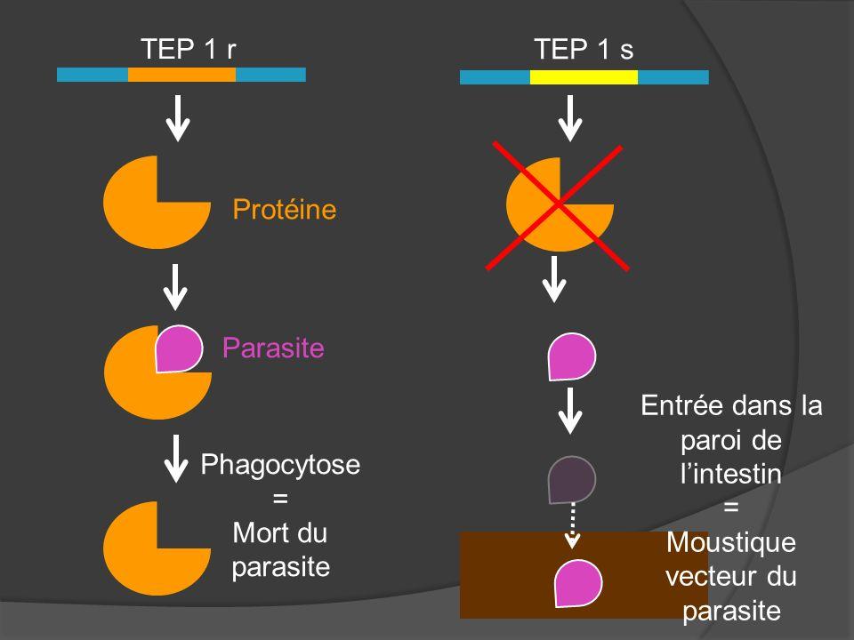 TEP 1 r TEP 1 s Protéine Parasite Phagocytose = Mort du parasite Entrée dans la paroi de lintestin = Moustique vecteur du parasite