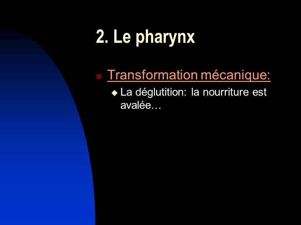 2. Le pharynx Transformation mécanique: La déglutition: la nourriture est avalée…