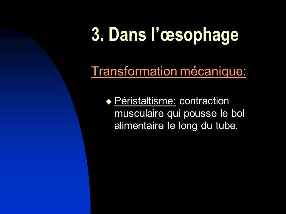 3. Dans lœsophage Transformation mécanique: Péristaltisme: contraction musculaire qui pousse le bol alimentaire le long du tube.
