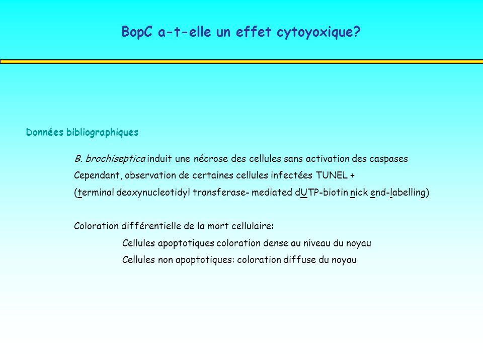 Données bibliographiques B. brochiseptica induit une nécrose des cellules sans activation des caspases Cependant, observation de certaines cellules in