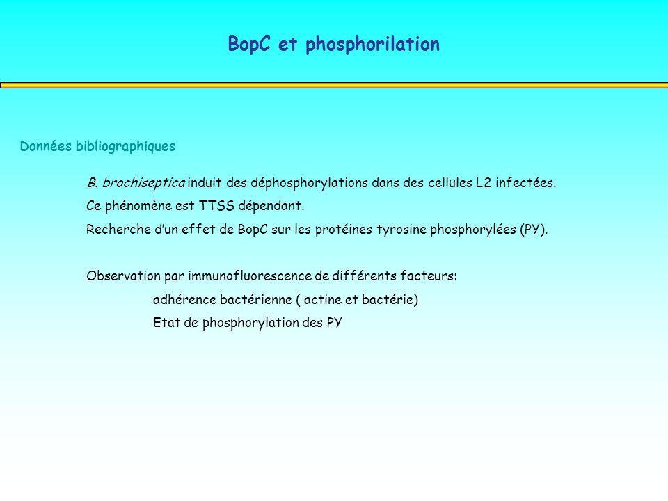 BopC et phosphorilation Données bibliographiques B. brochiseptica induit des déphosphorylations dans des cellules L2 infectées. Ce phénomène est TTSS