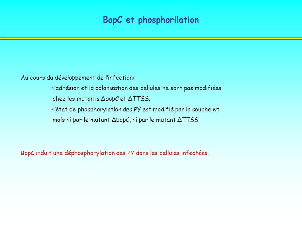 BopC et phosphorilation Au cours du développement de linfection: ladhésion et la colonisation des cellules ne sont pas modifiées chez les mutants Δbop