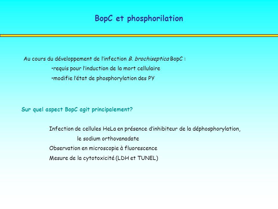BopC et phosphorilation Au cours du développement de linfection B. brochiseptica BopC : requis pour linduction de la mort cellulaire modifie létat de