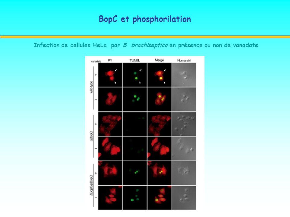 BopC et phosphorilation Infection de cellules HeLa par B. brochiseptica en présence ou non de vanadate