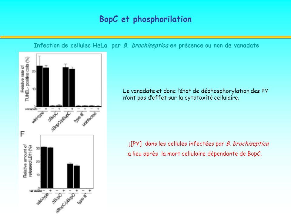 BopC et phosphorilation Infection de cellules HeLa par B. brochiseptica en présence ou non de vanadate Le vanadate et donc létat de déphosphorylation