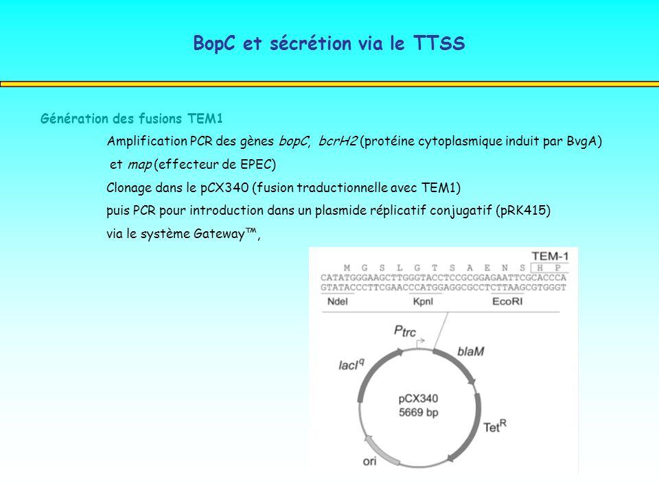 BopC et sécrétion via le TTSS Génération des fusions TEM1 Amplification PCR des gènes bopC, bcrH2 (protéine cytoplasmique induit par BvgA) et map (eff