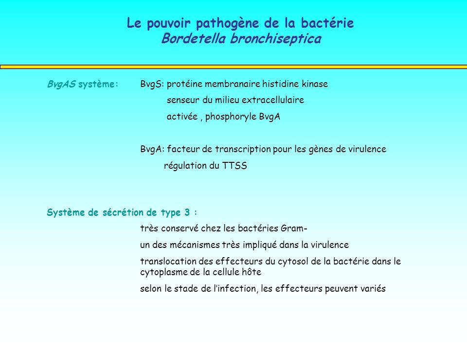 Le pouvoir pathogène de la bactérie Bordetella bronchiseptica BvgAS système:BvgS: protéine membranaire histidine kinase senseur du milieu extracellula
