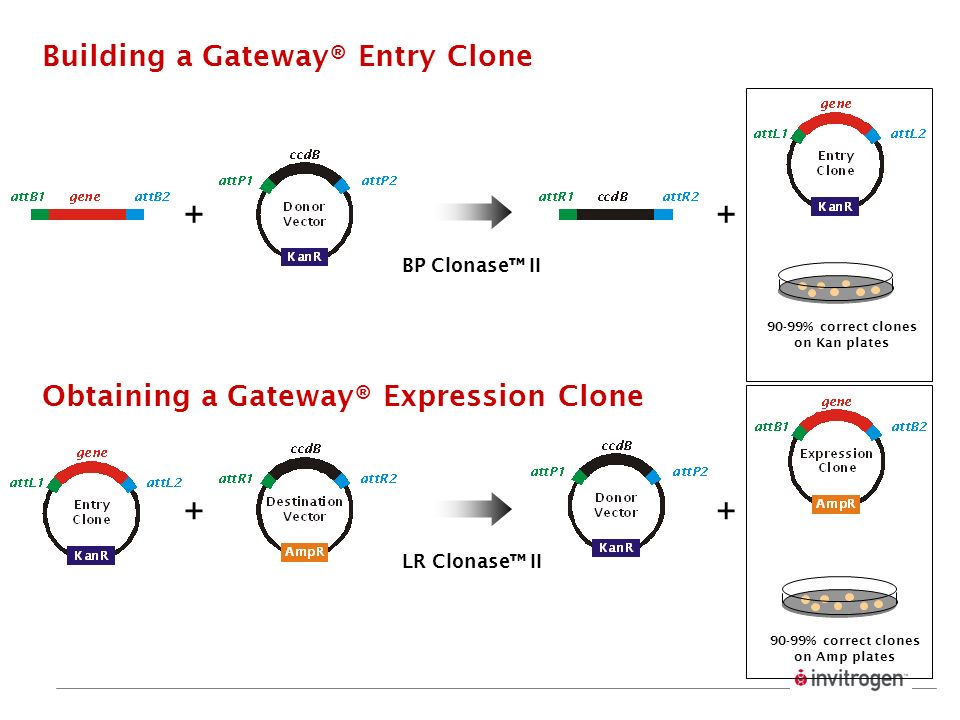 90-99% correct clones on Kan plates Building a Gateway® Entry Clone ++ BP Clonase II Obtaining a Gateway® Expression Clone 90-99% correct clones on Am