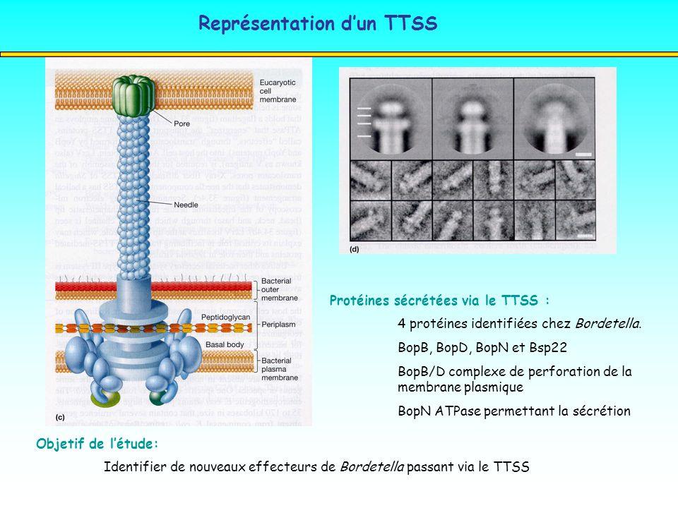 Représentation dun TTSS Protéines sécrétées via le TTSS : 4 protéines identifiées chez Bordetella. BopB, BopD, BopN et Bsp22 BopB/D complexe de perfor