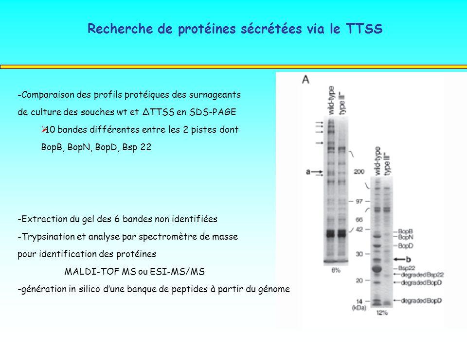 Recherche de protéines sécrétées via le TTSS -Comparaison des profils protéiques des surnageants de culture des souches wt et ΔTTSS en SDS-PAGE 10 ban