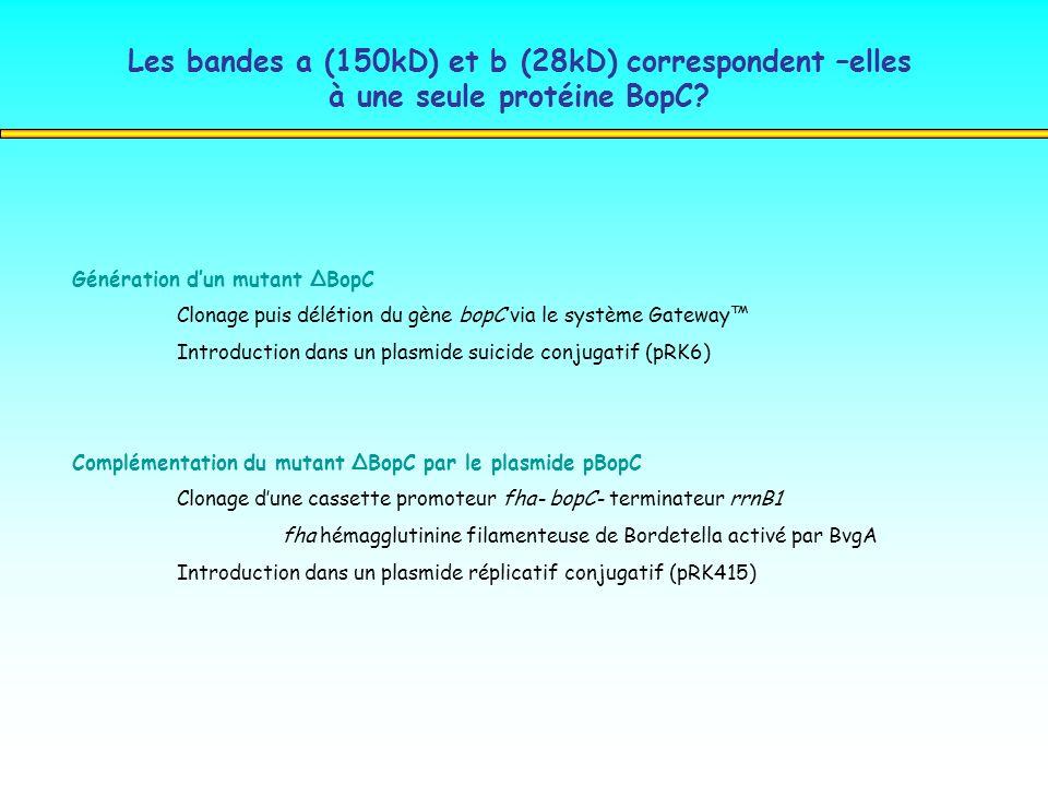 Les bandes a (150kD) et b (28kD) correspondent –elles à une seule protéine BopC? Génération dun mutant ΔBopC Clonage puis délétion du gène bopC via le