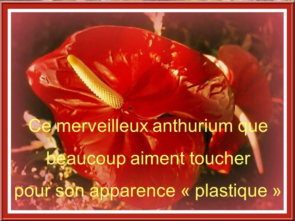Ce merveilleux anthurium que beaucoup aiment toucher pour son apparence « plastique »