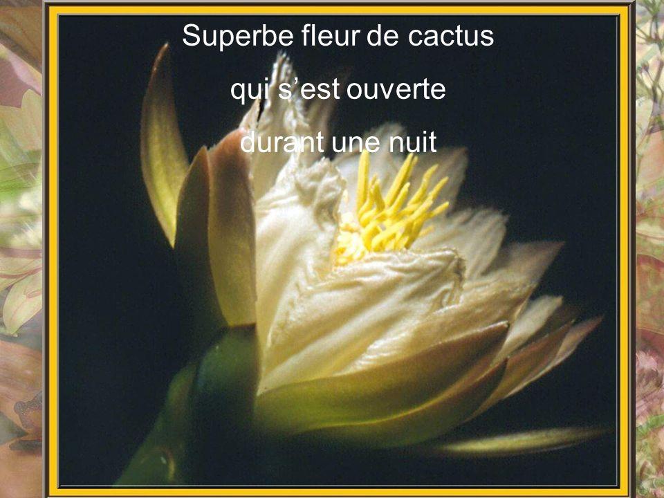 Superbe fleur de cactus qui sest ouverte durant une nuit