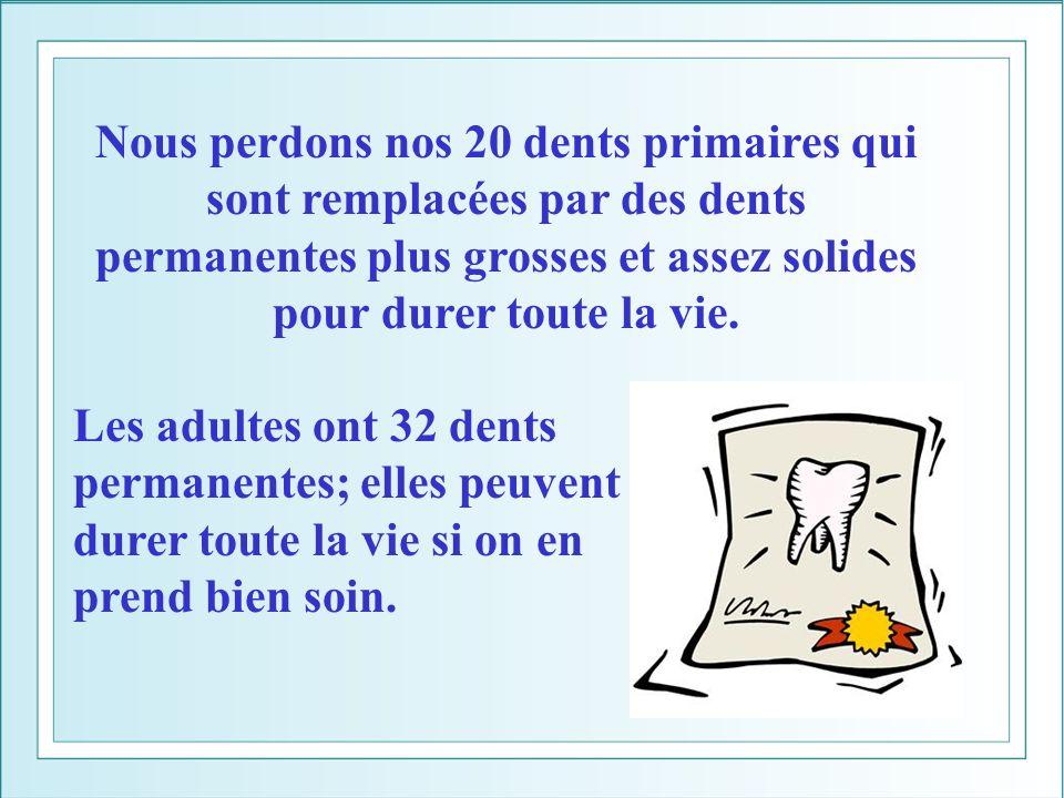 Nous perdons nos 20 dents primaires qui sont remplacées par des dents permanentes plus grosses et assez solides pour durer toute la vie. Les adultes o
