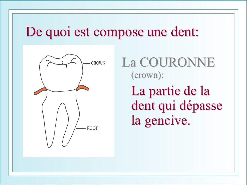 De quoi est compose une dent: La COURONNE (crown): La partie de la dent qui dépasse la gencive.