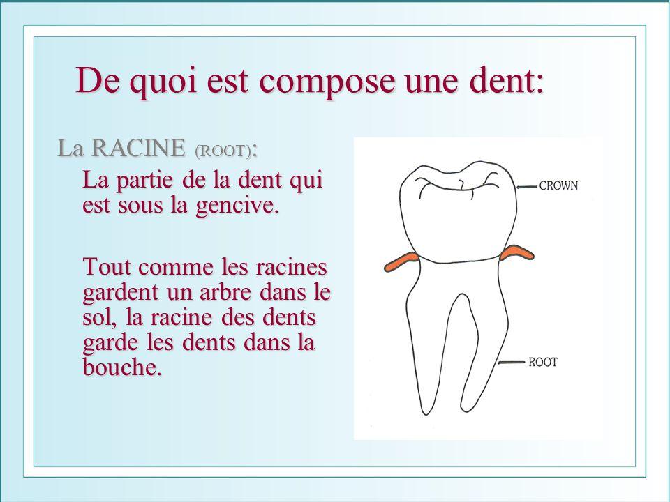 De quoi est compose une dent: La RACINE (ROOT) : La partie de la dent qui est sous la gencive. Tout comme les racines gardent un arbre dans le sol, la