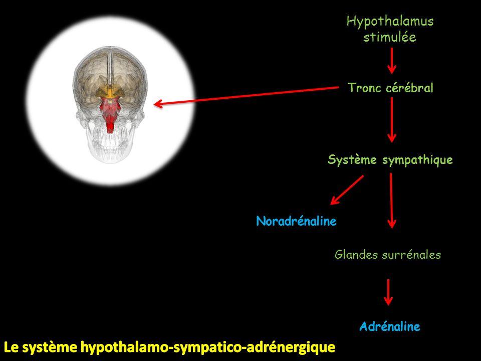 Hypothalamus stimulée Tronc cérébral Système sympathique Glandes surrénales