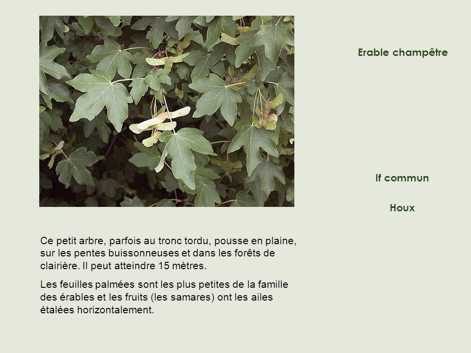 Ce petit arbre, parfois au tronc tordu, pousse en plaine, sur les pentes buissonneuses et dans les forêts de clairière.