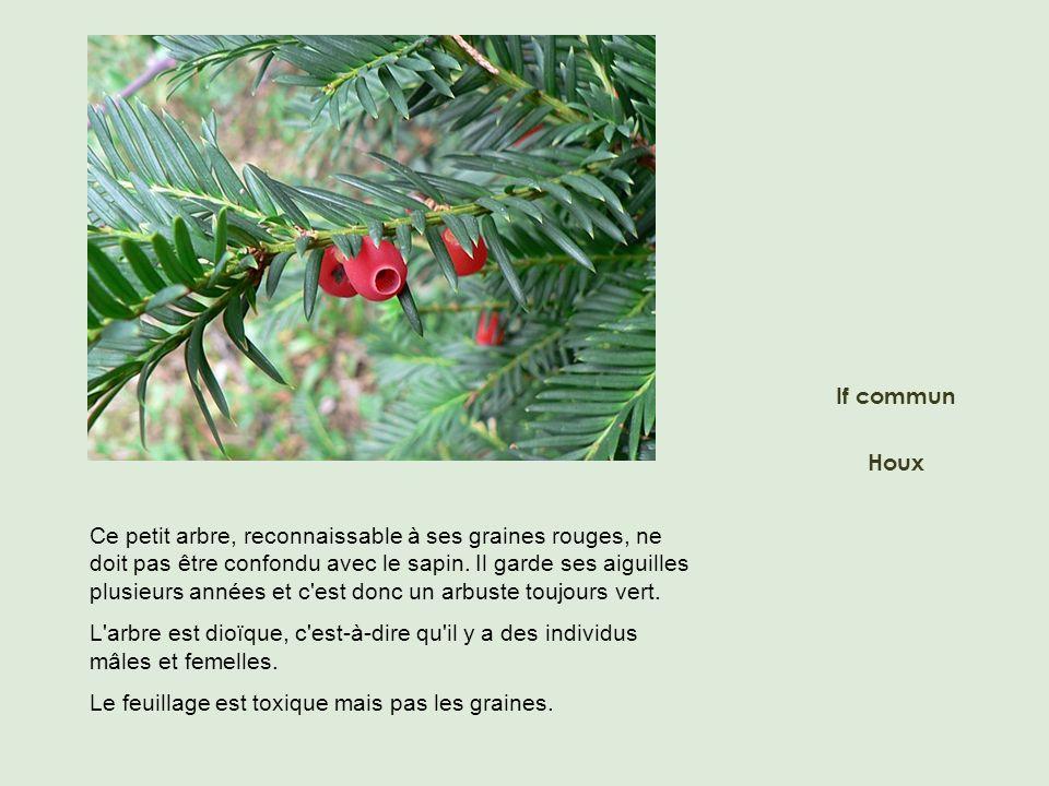Ce petit arbre, reconnaissable à ses graines rouges, ne doit pas être confondu avec le sapin. Il garde ses aiguilles plusieurs années et c'est donc un