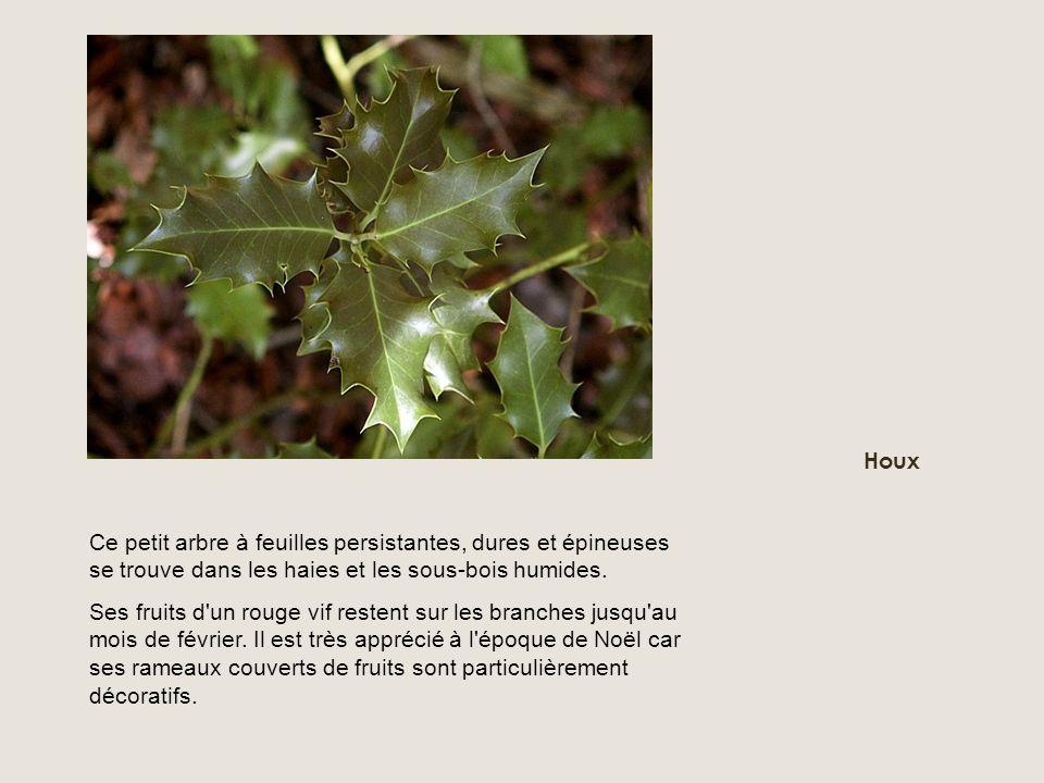 Ce petit arbre à feuilles persistantes, dures et épineuses se trouve dans les haies et les sous-bois humides. Ses fruits d'un rouge vif restent sur le