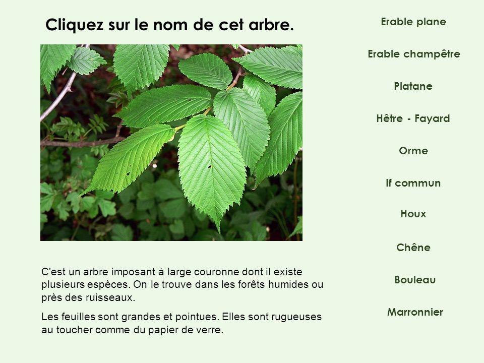 Platane Hêtre - Fayard If commun Orme Chêne Bouleau Marronnier Erable champêtre Houx C'est un arbre imposant à large couronne dont il existe plusieurs
