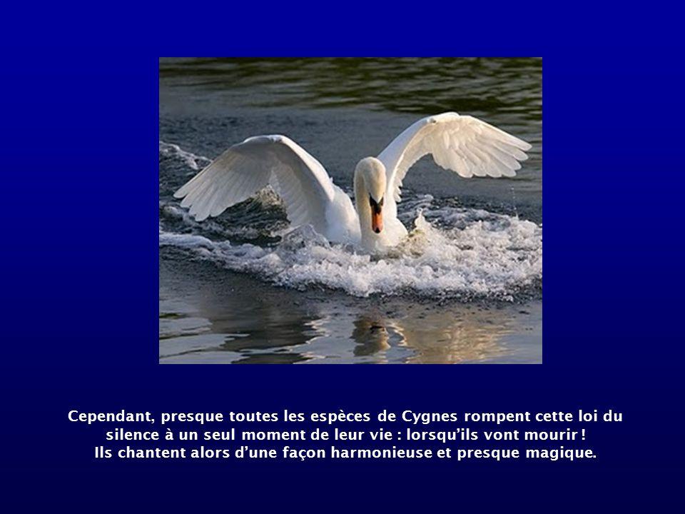 Cependant, presque toutes les espèces de Cygnes rompent cette loi du silence à un seul moment de leur vie : lorsquils vont mourir .