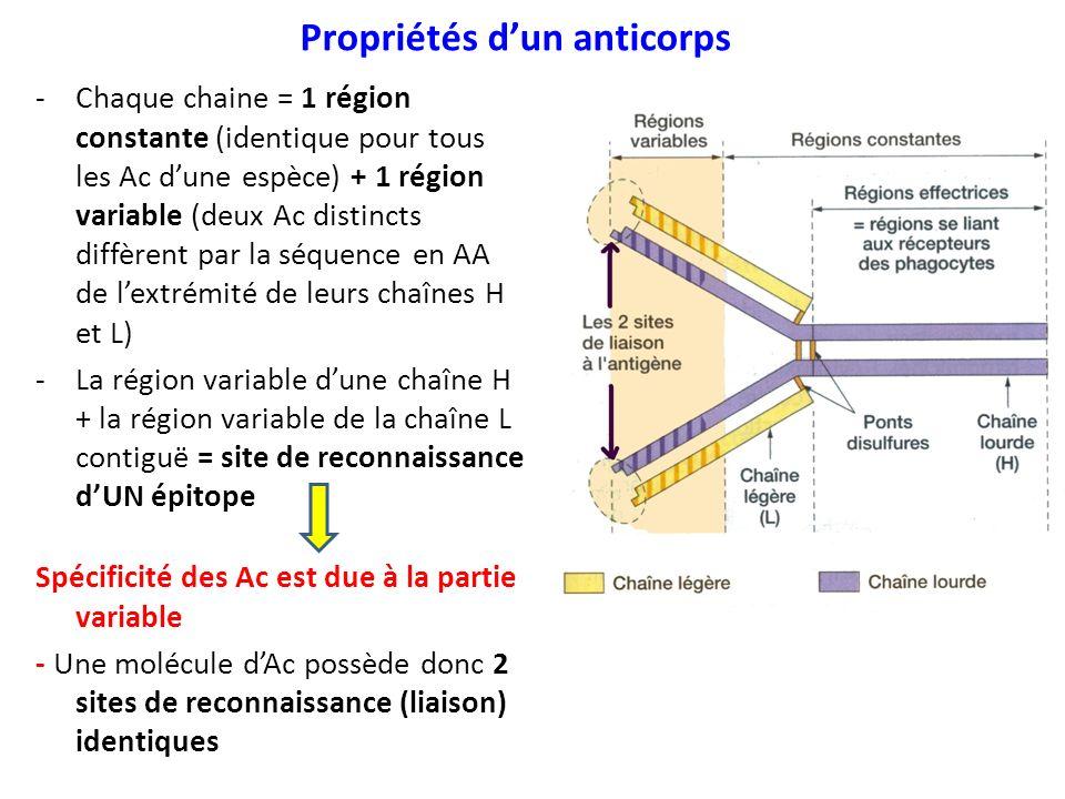 Propriétés dun anticorps -Chaque chaine = 1 région constante (identique pour tous les Ac dune espèce) + 1 région variable (deux Ac distincts diffèrent par la séquence en AA de lextrémité de leurs chaînes H et L) -La région variable dune chaîne H + la région variable de la chaîne L contiguë = site de reconnaissance dUN épitope Spécificité des Ac est due à la partie variable - Une molécule dAc possède donc 2 sites de reconnaissance (liaison) identiques