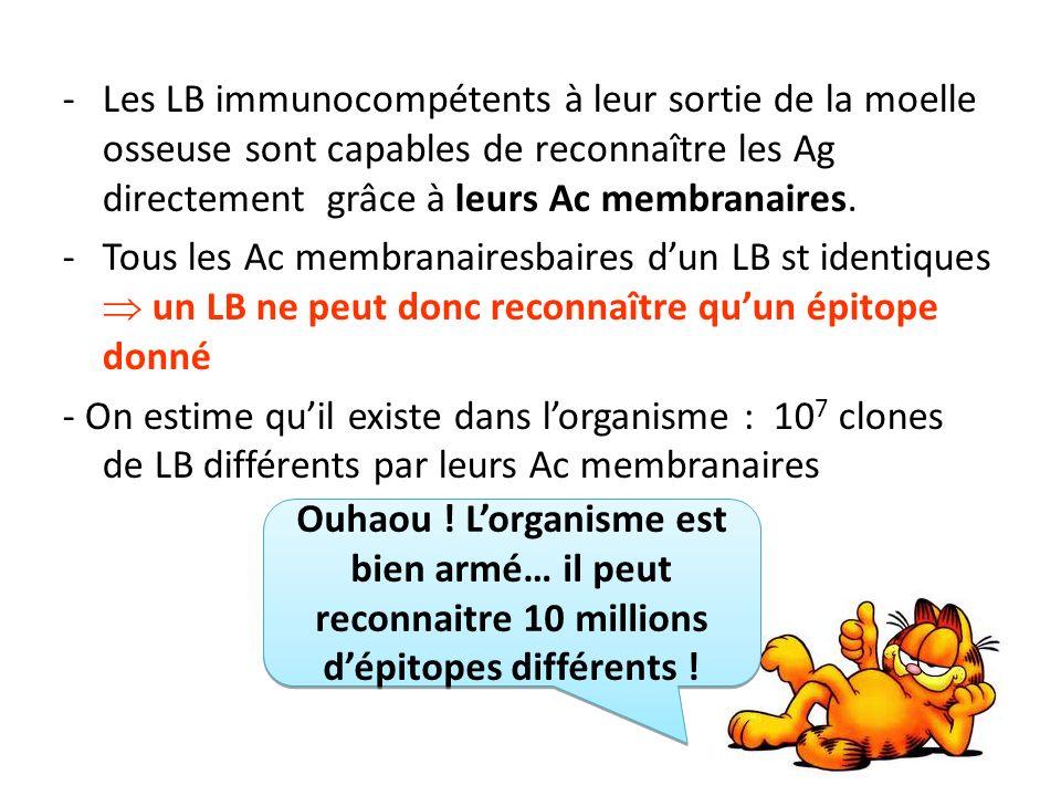 -Les LB immunocompétents à leur sortie de la moelle osseuse sont capables de reconnaître les Ag directement grâce à leurs Ac membranaires.