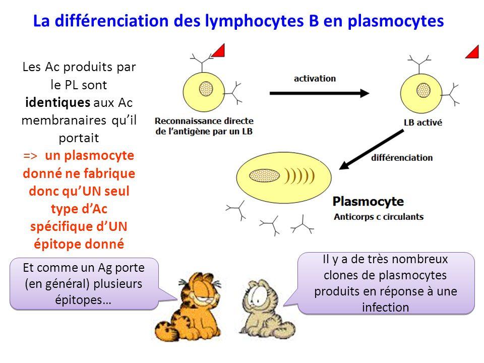 La différenciation des lymphocytes B en plasmocytes Les Ac produits par le PL sont identiques aux Ac membranaires quil portait => un plasmocyte donné ne fabrique donc quUN seul type dAc spécifique dUN épitope donné Il y a de très nombreux clones de plasmocytes produits en réponse à une infection Et comme un Ag porte (en général) plusieurs épitopes…