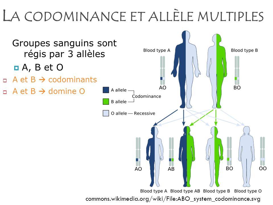 L A CODOMINANCE ET ALLÈLE MULTIPLES commons.wikimedia.org/wiki/File:ABO_system_codominance.svg Groupes sanguins sont régis par 3 allèles A, B et O A e