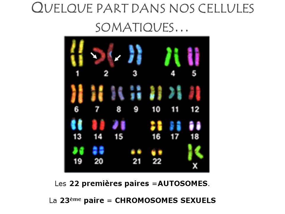 Q UELQUE PART DANS NOS CELLULES SOMATIQUES … Les 22 premières paires =AUTOSOMES. La 23 ème paire = CHROMOSOMES SEXUELS
