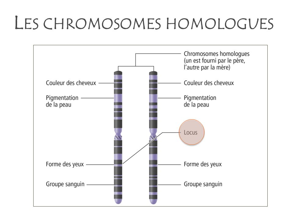 L ES CHROMOSOMES HOMOLOGUES