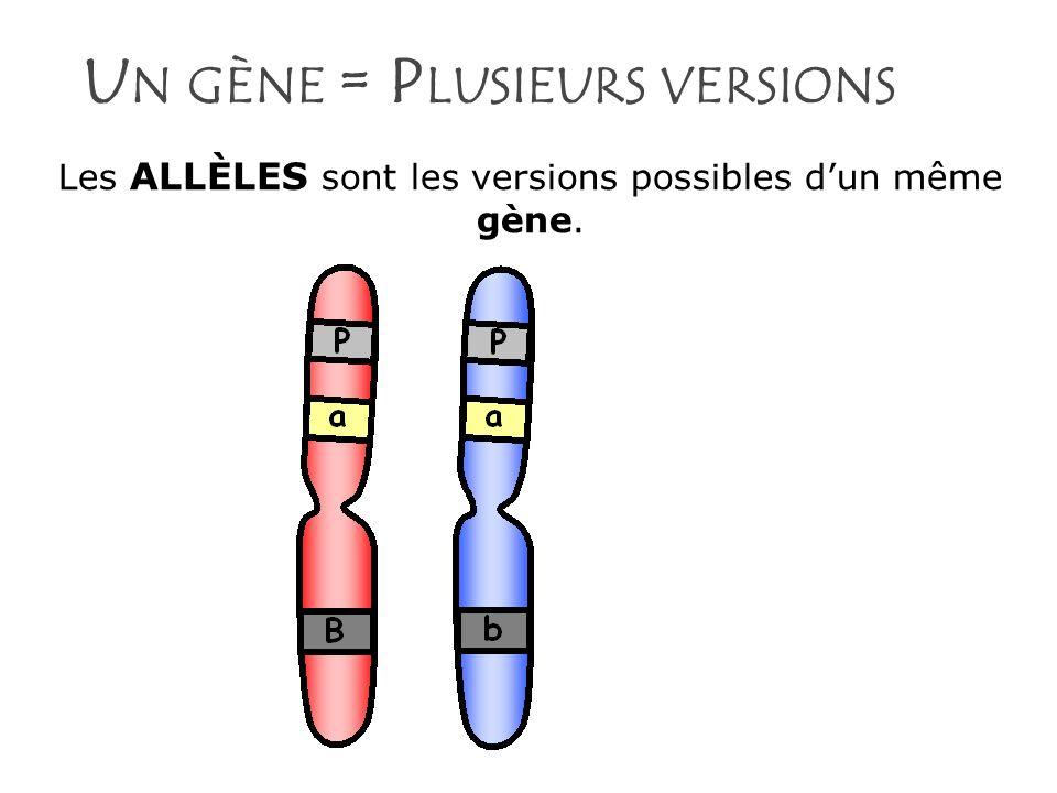 L A MANIFESTATION DES ALLÈLES Allèle dominant : Allèle qui sexprime pleinement dans lapparence dun organisme.