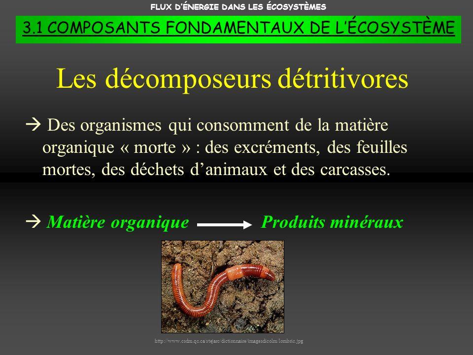 FLUX DÉNERGIE DANS LES ÉCOSYSTÈMES 3.1 COMPOSANTS FONDAMENTAUX DE LÉCOSYSTÈME Des organismes qui consomment de la matière organique « morte » : des ex