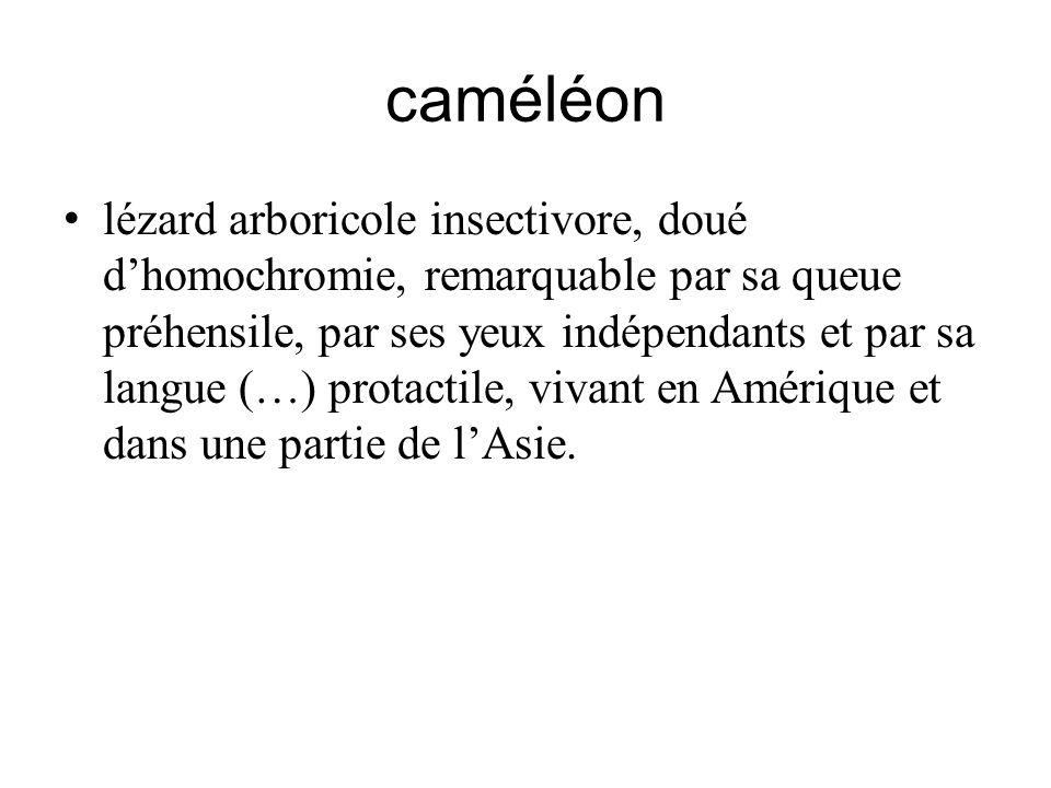 caméléon lézard arboricole insectivore, doué dhomochromie, remarquable par sa queue préhensile, par ses yeux indépendants et par sa langue (…) protact