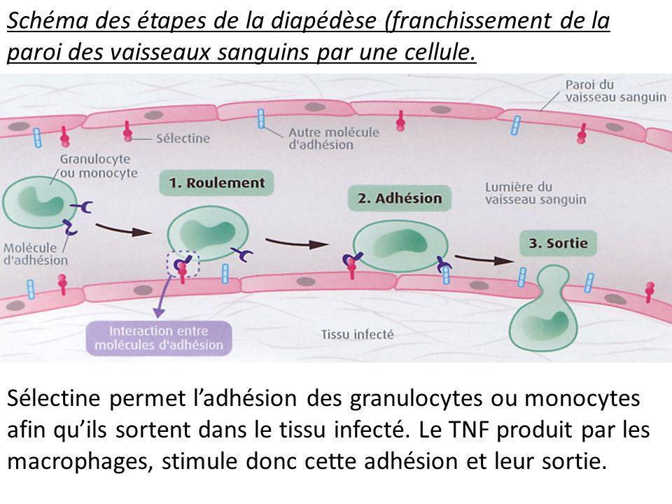 Schéma des étapes de la diapédèse (franchissement de la paroi des vaisseaux sanguins par une cellule. Sélectine permet ladhésion des granulocytes ou m